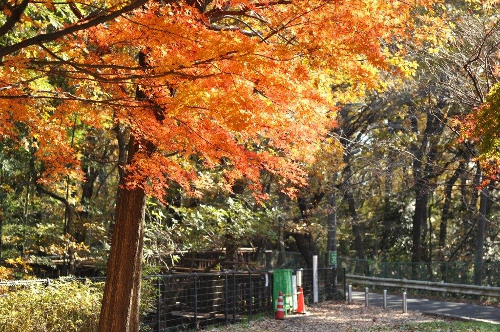 桜ヶ丘公園のもみじ