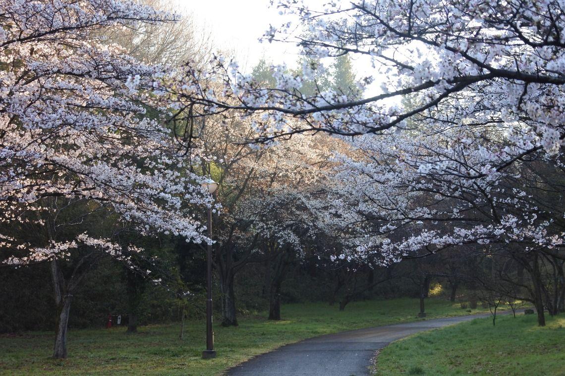 桜ヶ丘公園の桜(2019年4月2日)