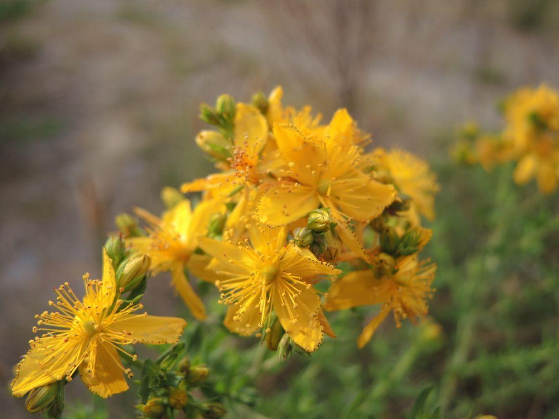 多摩川は黄色い花の季節