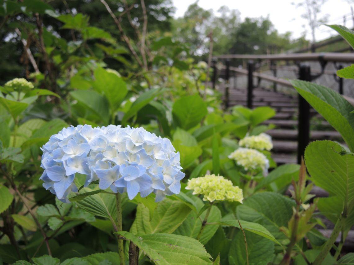 桜ヶ丘公園のアジサイ