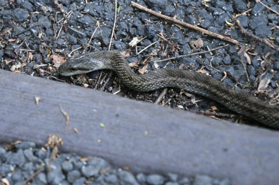 桜ヶ丘公園でシマヘビと遭遇