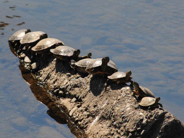 大栗川のミドリガメ