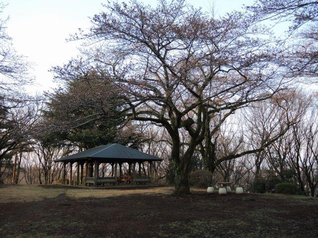 桜ヶ丘公園のさくら開花