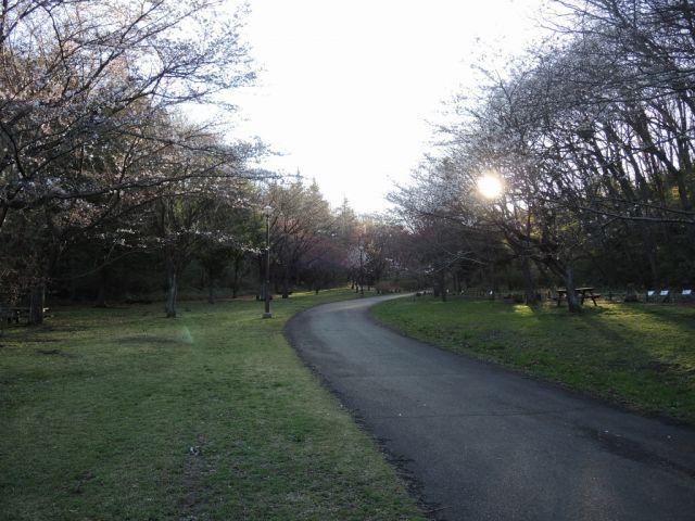 桜ヶ丘公園のさくらはまだ咲き始めです