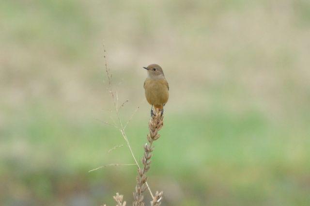 大栗川と多摩川の野鳥(秋)