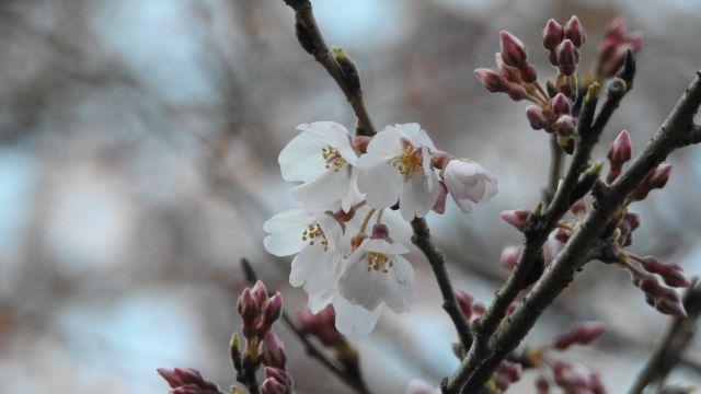 ゆうひの丘の桜が開花