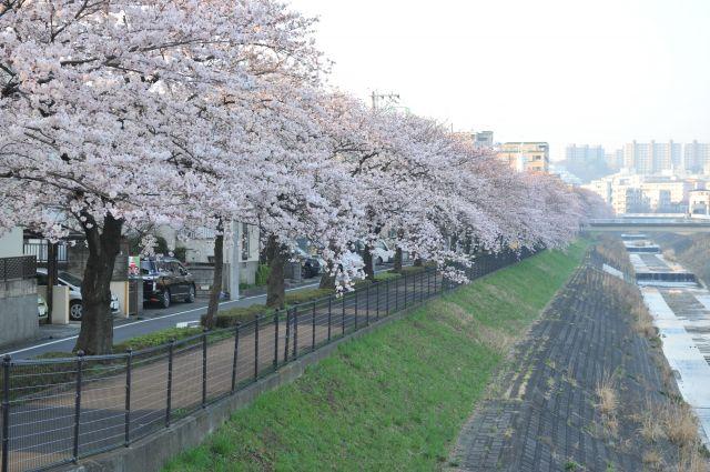 乞田川沿いの桜