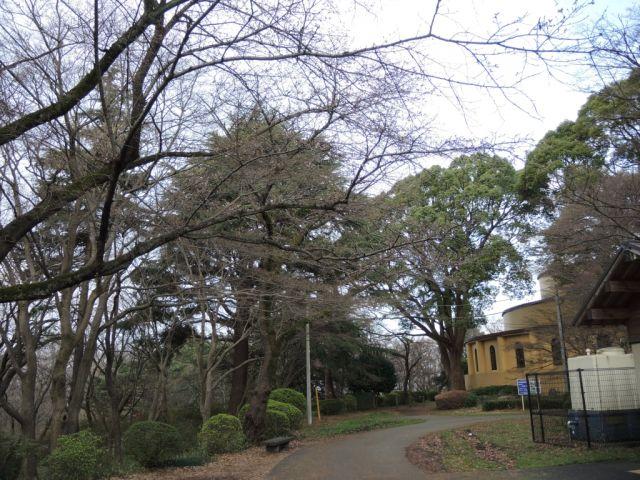 桜ヶ丘公園は満開までまだまだ