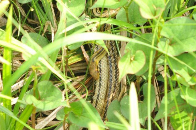 桜ヶ丘公園でシマヘビと会う