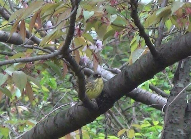 桜ヶ丘公園のアオジ