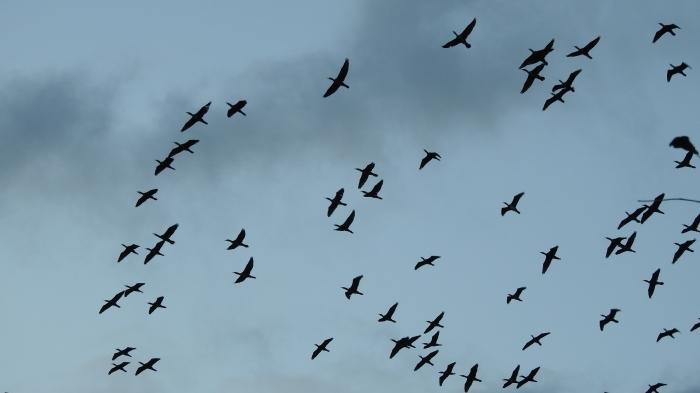 カワウの群れと便乗するサギ