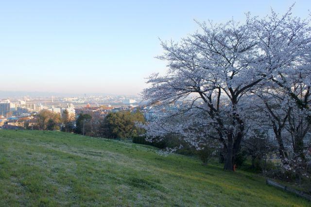 ゆうひの丘の桜