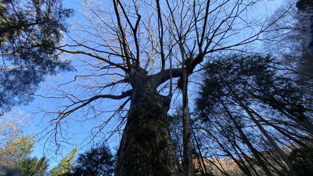 大木その2