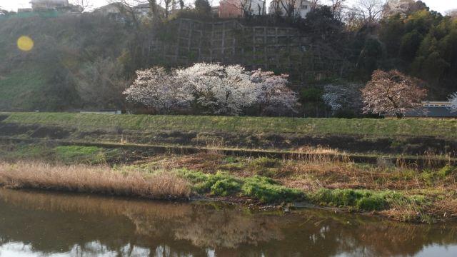 多摩川合流点近くの大栗川の桜はあと少しで満開