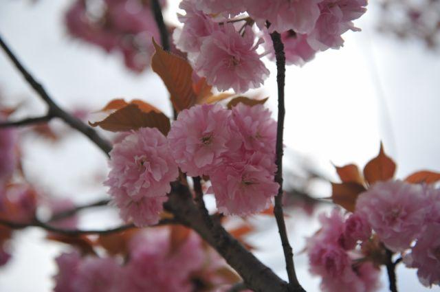八重桜でしょうか