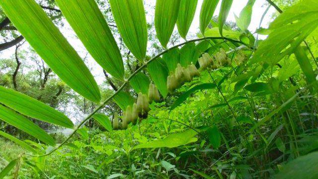 ナルコユリ開花