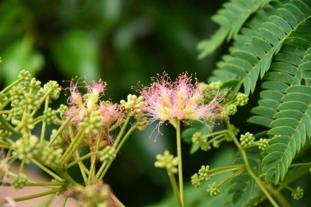 ネムノキの花が綺麗です